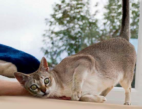 singapurskaya koshka na podokonnike Сингапурская кошка