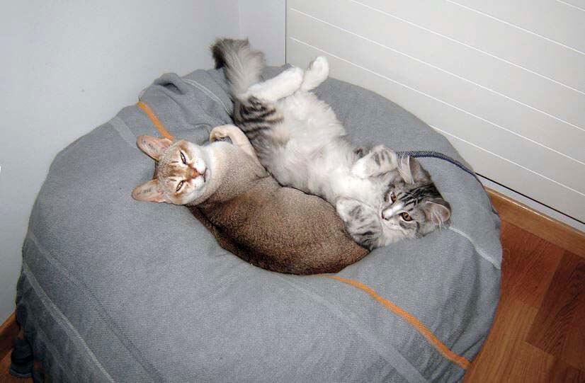 Сингапурская кошка на подушке