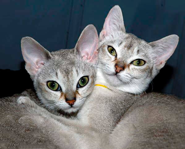 singapurskaya koshka s kotyonkom Сингапурская кошка