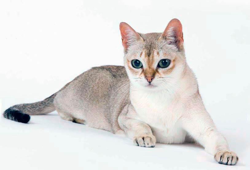 singapurskaya koshka Сингапурская кошка