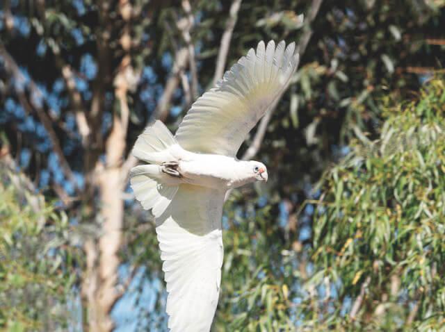 Летящий тонкоклювый какаду