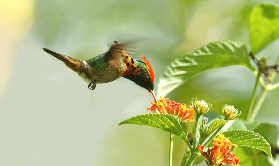 Подлетающая к цветку украшенная кокетка
