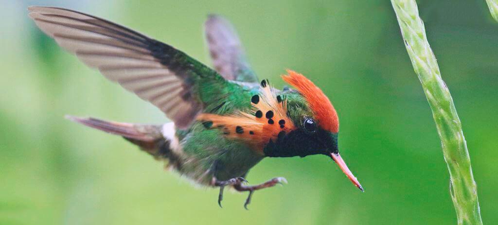 колибри-эльф фото