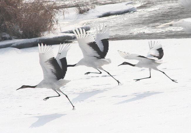 Разбег японских журавлей перед полётом