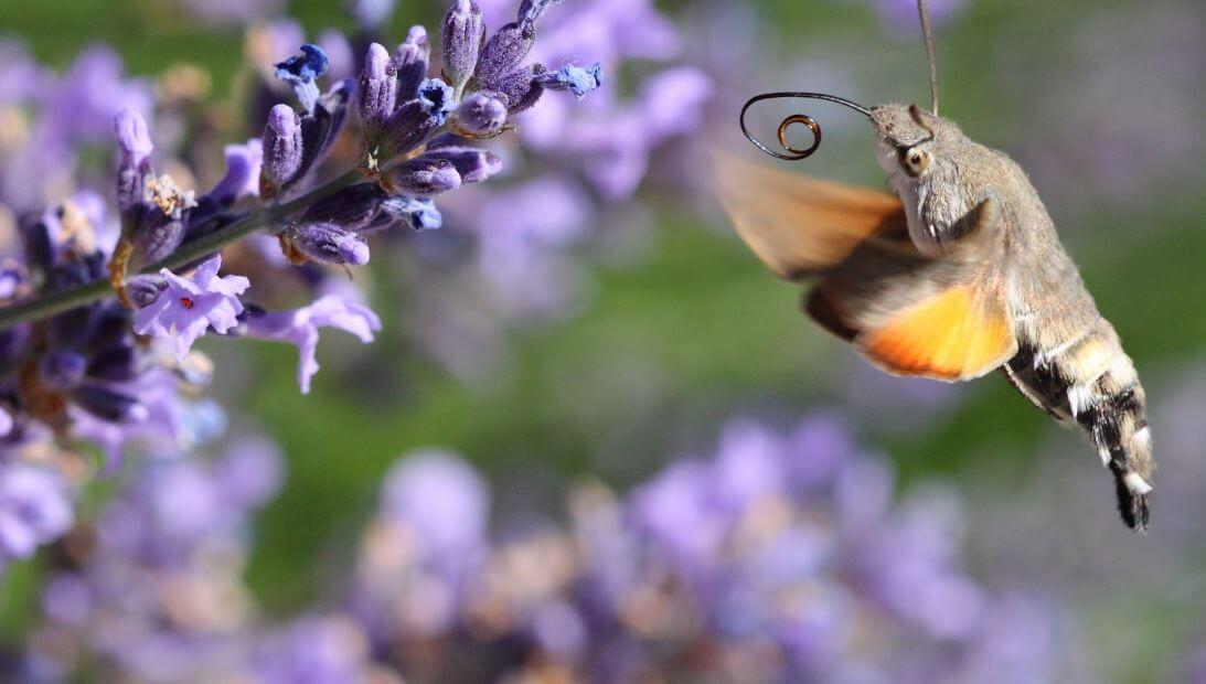 Соцветие опыляемое языканом обыкновенным
