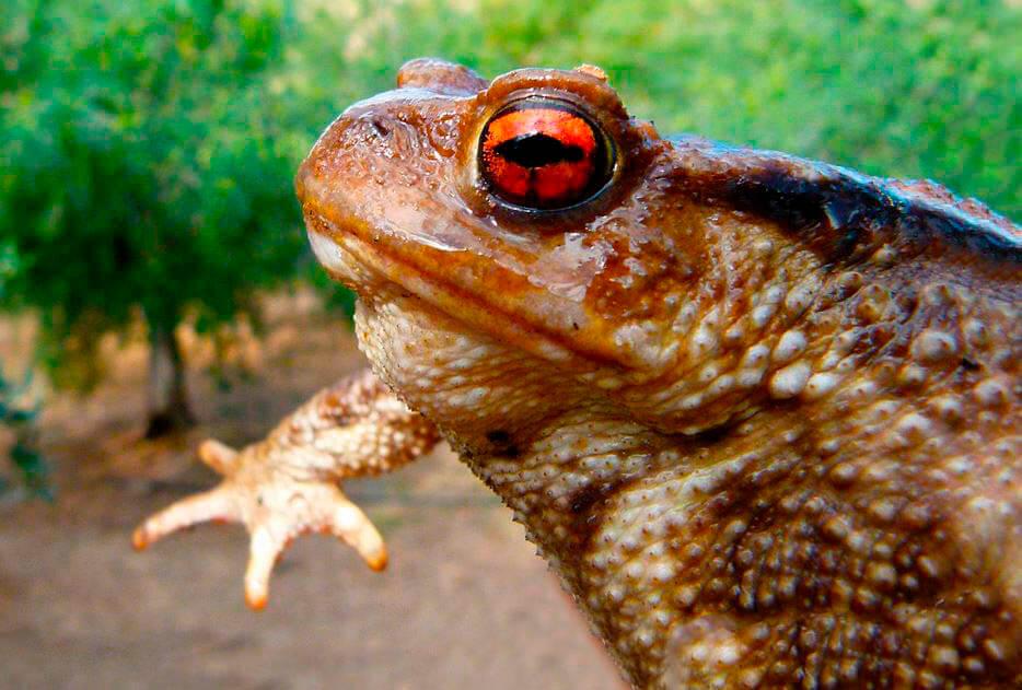 Самец жабы Бломберга