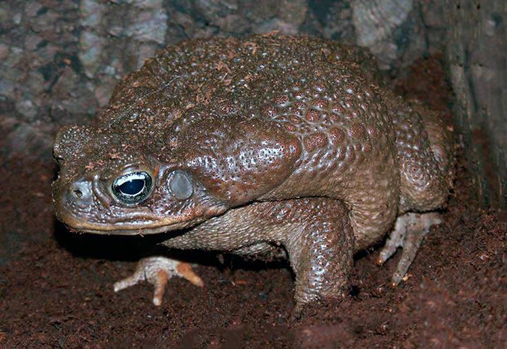 Жаба Бломберга фото