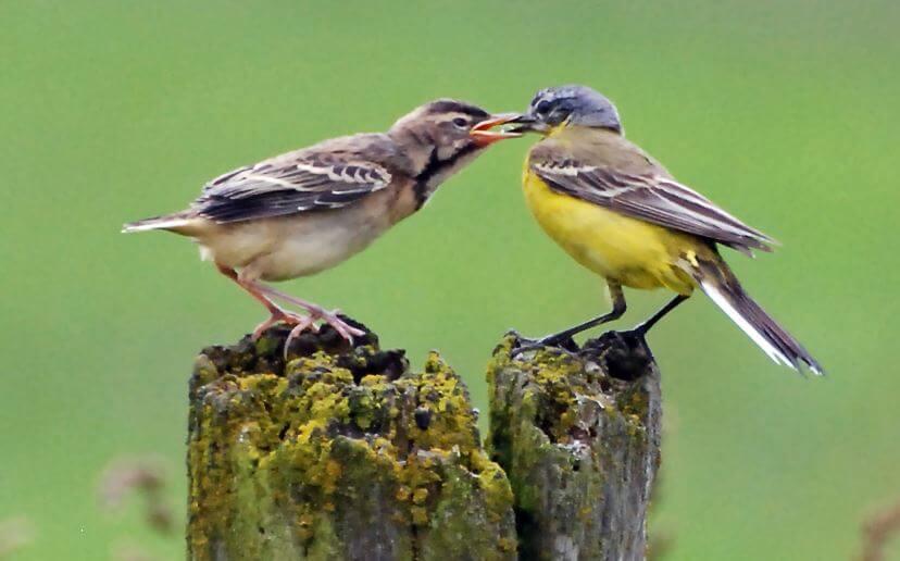Кормление птенца желтой трясогузки