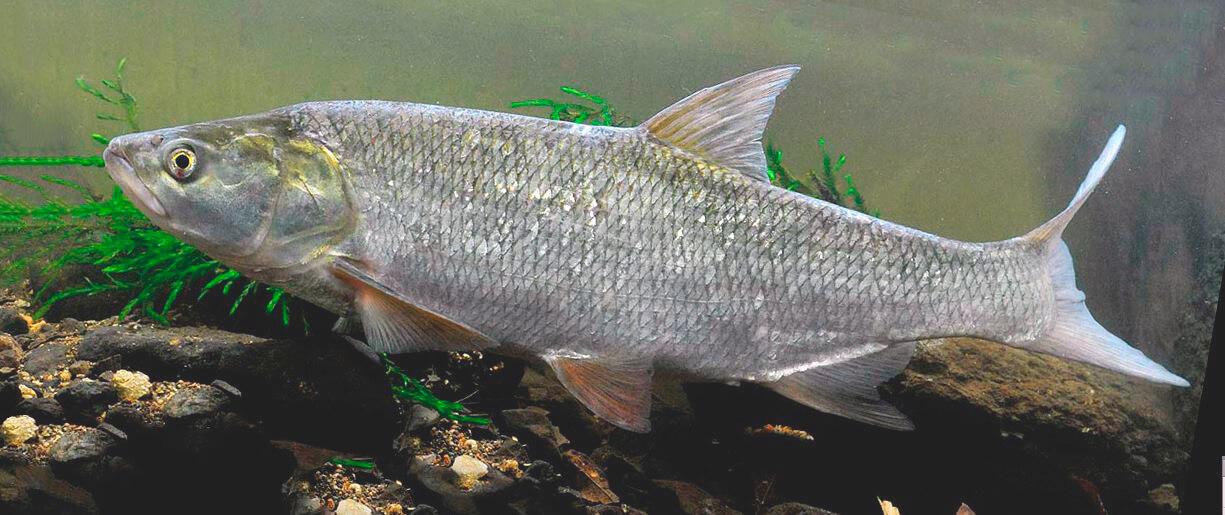 Охота жереха на мелкую рыбёшку