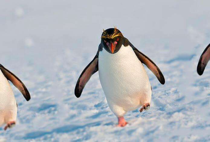 Картинка с золотоволосым пингвином