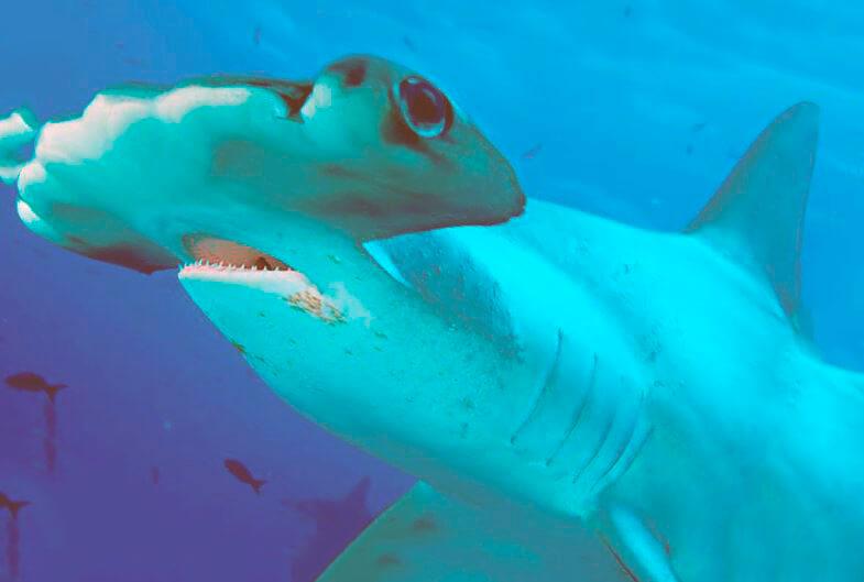 Картинка с гигантской акулой-молотом