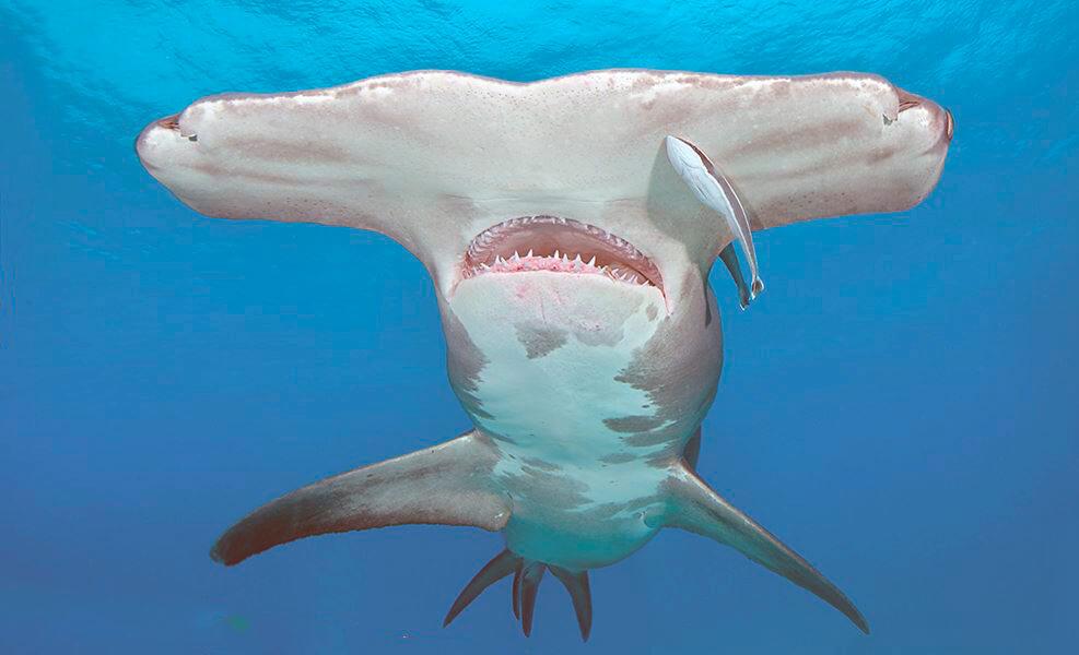 Гигантская акула-молот фото