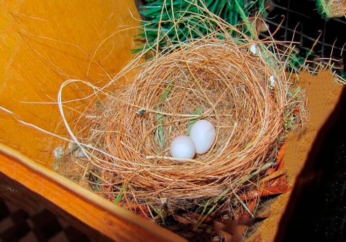 Гнездо построенное огненными чижами
