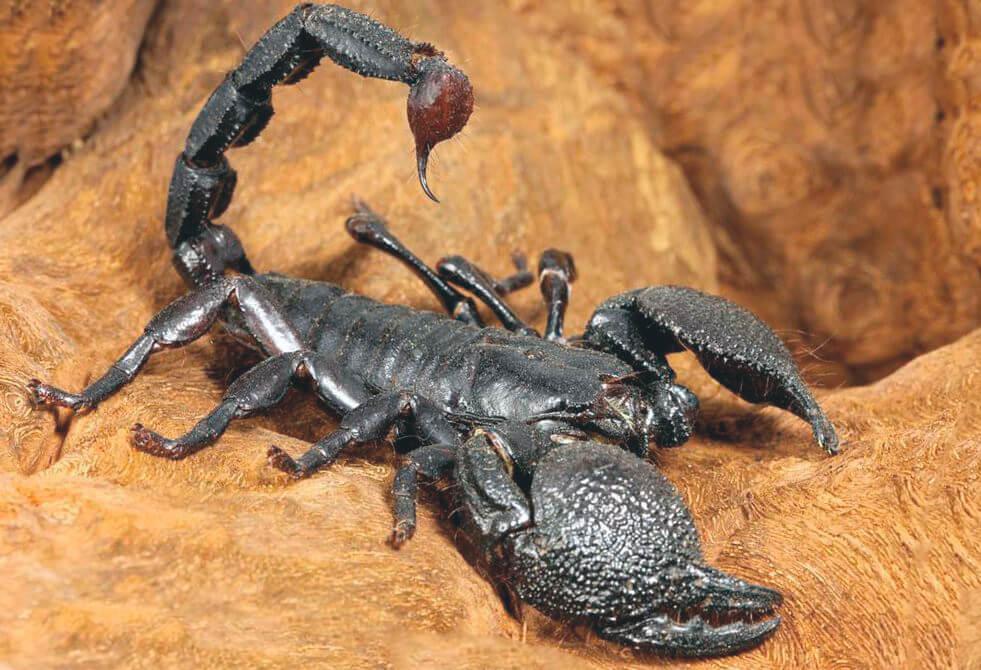 Место жительства императорского скорпиона