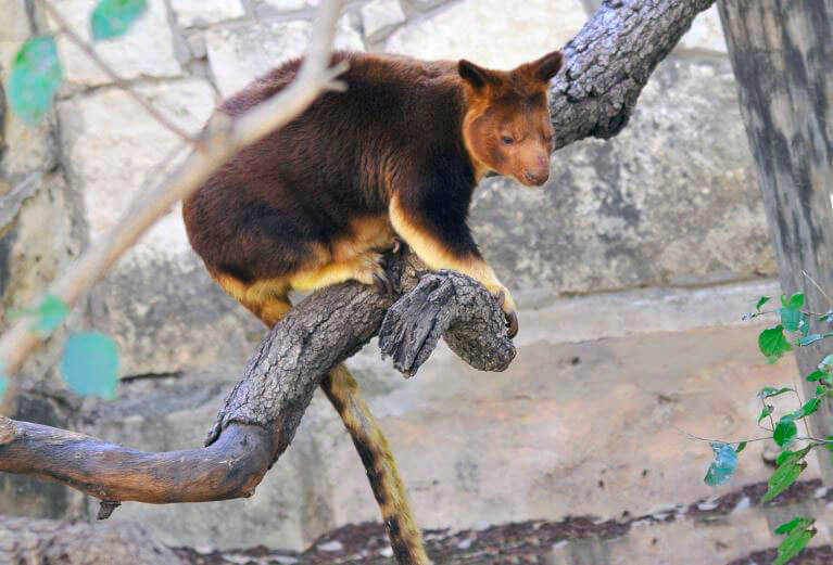 Кенгуру Гудфеллоу на дереве