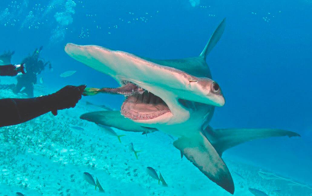 Охота гигантской акулы-молота