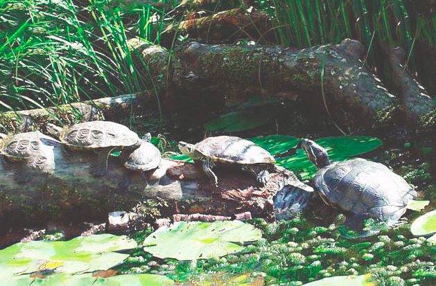 Группа лесных черепах