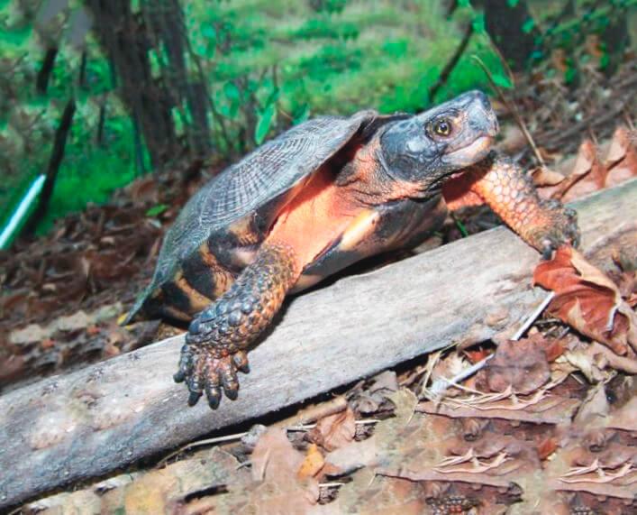 Прогулка лесной черепахи