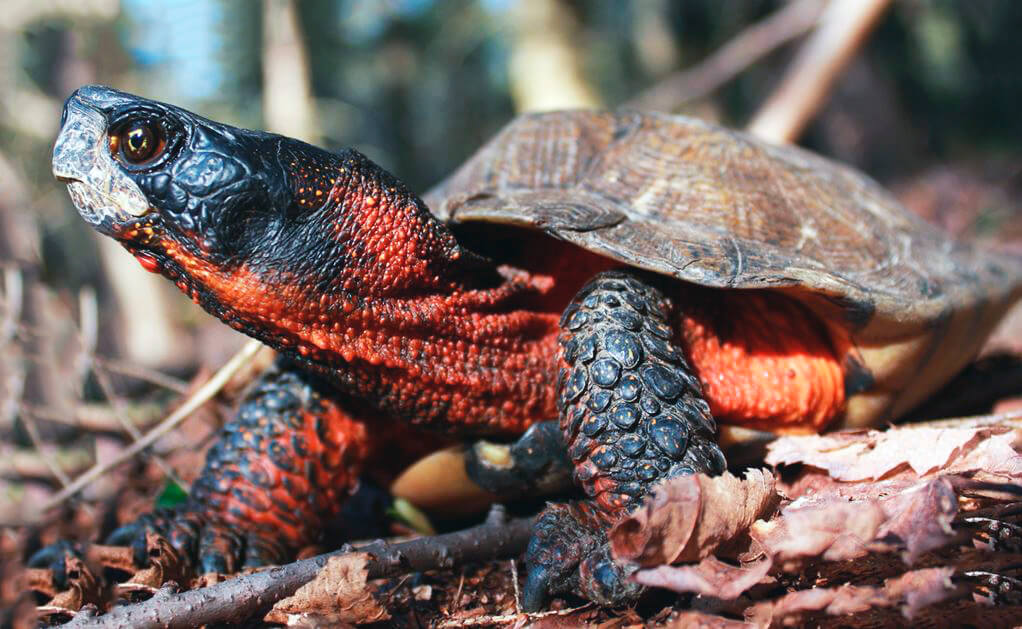 Картинка с лесной черепахой