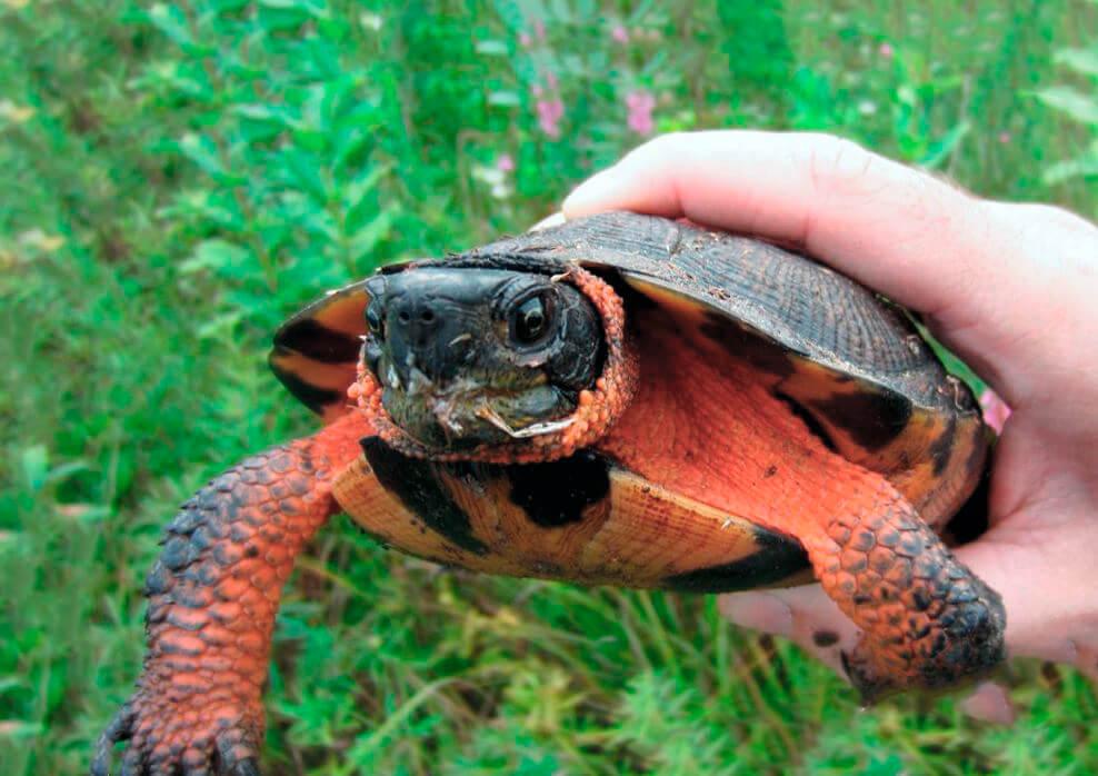 Лесная черепаха фото