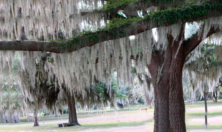 Тилландсия уснеевидная на дереве