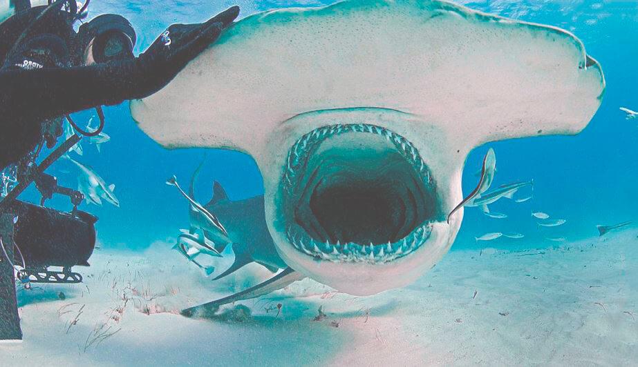 Кормление гигантской акулы-молота