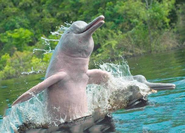 Любопытство амазонскиого дельфина