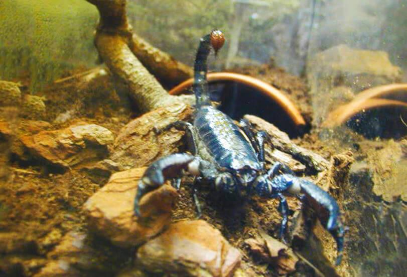 Содержание императорского скорпиона в домашних условиях