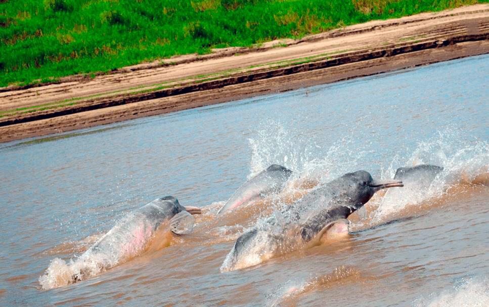 Амазонский дельфин в поиске пищи