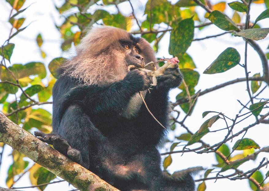 Львинохвостый макак поедает фрукты