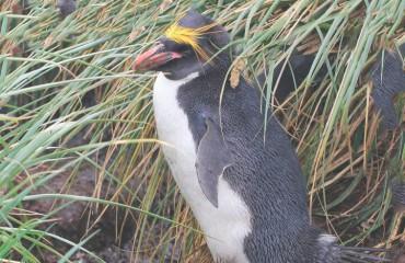 Золотоволосий пінгвін,