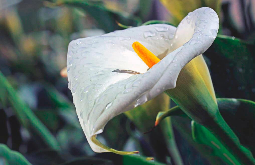 Цветок зантедескии эфиопской