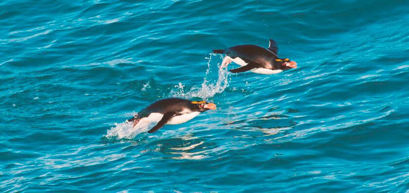 Плывущие золотоволосые пингвины