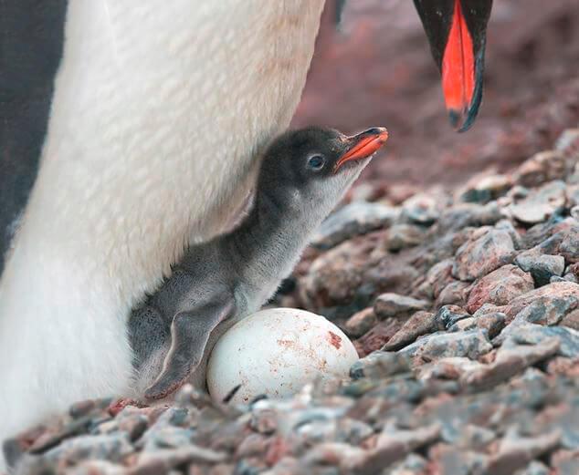Яуцо золотоволосого пингвина