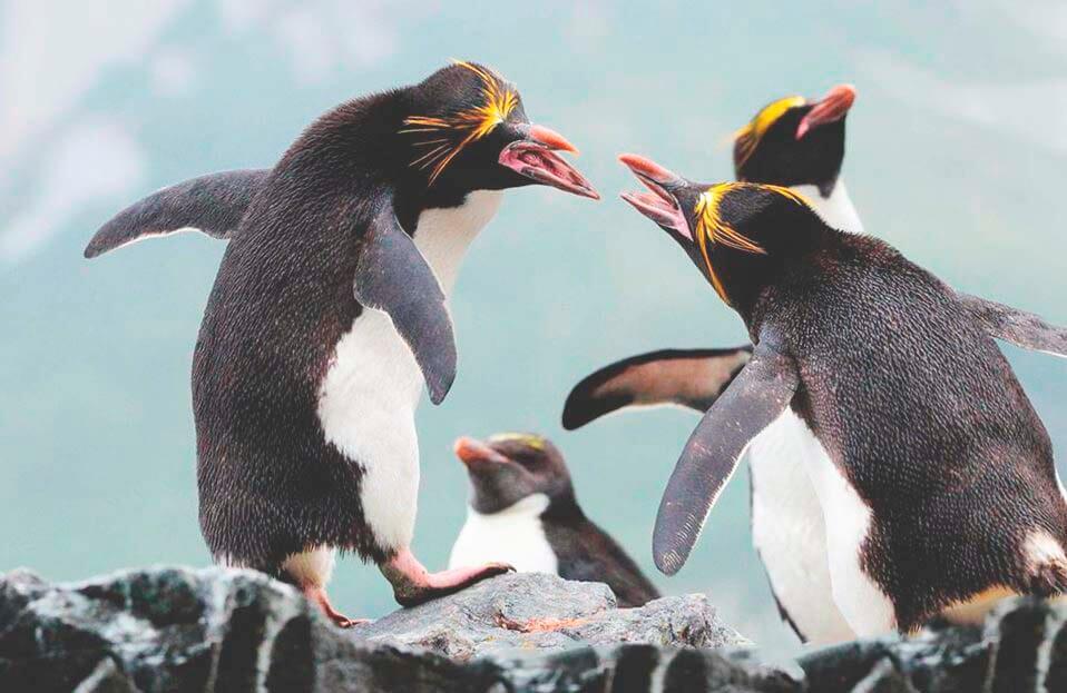 Кричащие золотоволосые пингвины