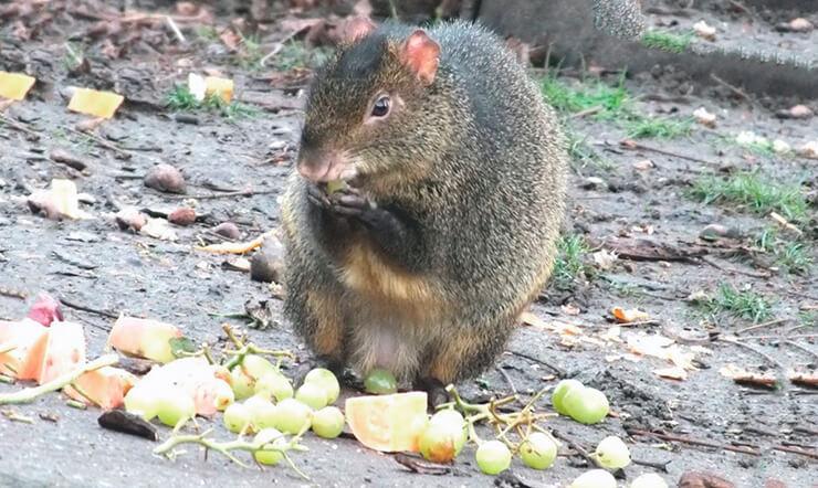 Овощной обед агути азары