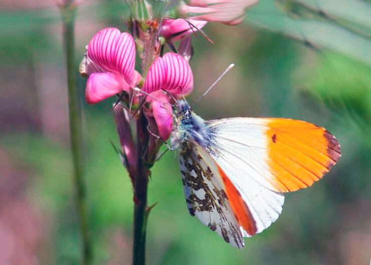 картинка с самкой бабочки зорька