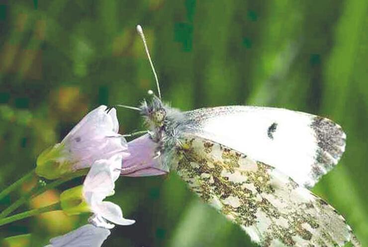 Cамец бабочки зорька