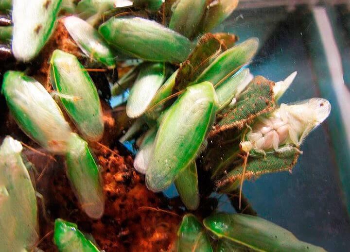Скопище банановых зеленых тараканов