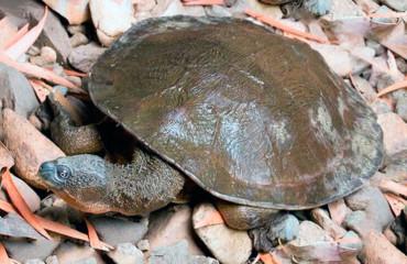 Черепаха Фітцроя, або струмкова білоока черепаха