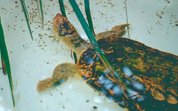 Черепаха Фитцроя фото