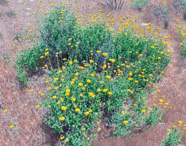 Гелиопсис подсолнечниковидный в природных условиях
