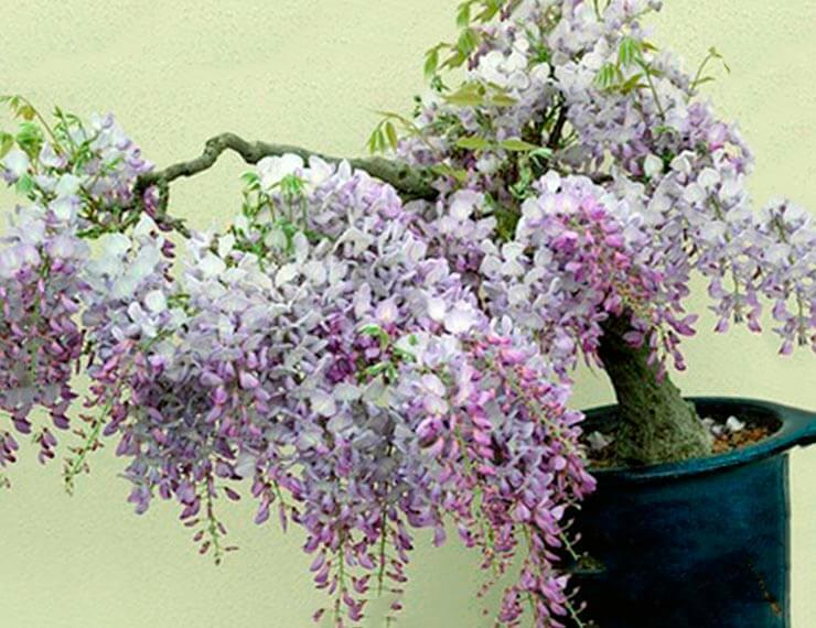 Бонсай из глицинии обильноцветущей