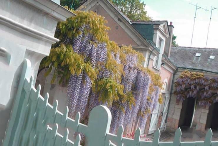 Глициния обильноцветущая возле дома