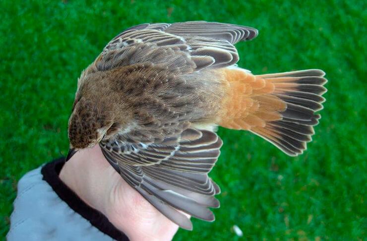Phoenicurus phoenicurus на руке