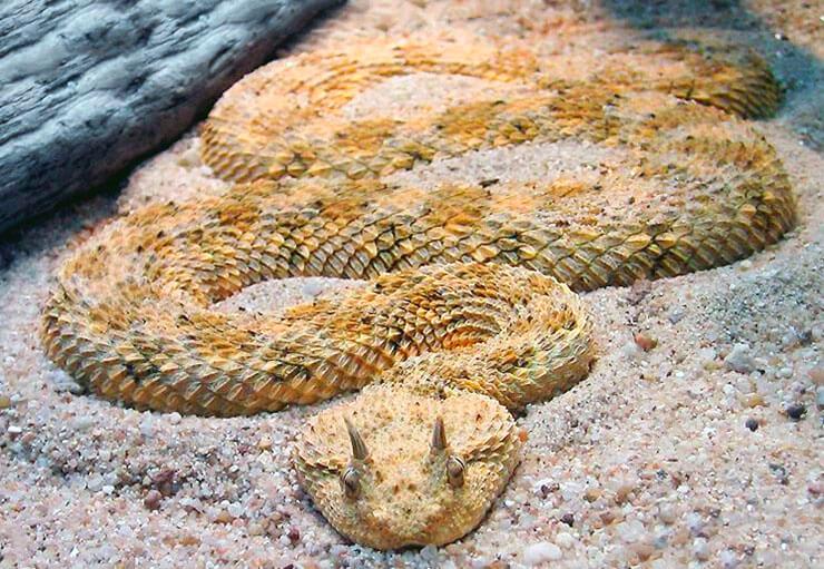 Колючая кустарниковая гадюка на песке