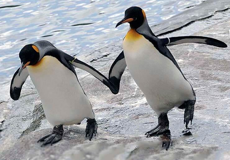 Пара королевских пингвинов