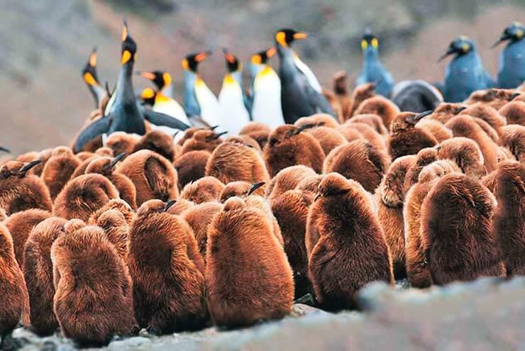 Лежбище королевских пингвинов