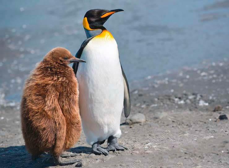 Забота королевского пингвина о птенце