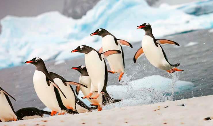 Королевский пингвин фото